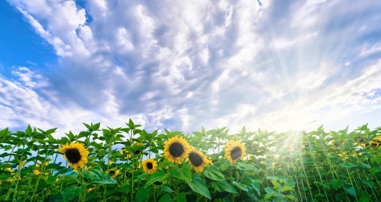 Sunflower Field with setting Sun in Background, nice Sunburst and Sunbeams